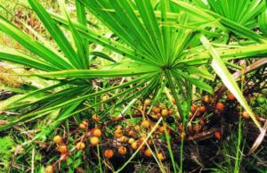 sawpalmetto foglie di palma