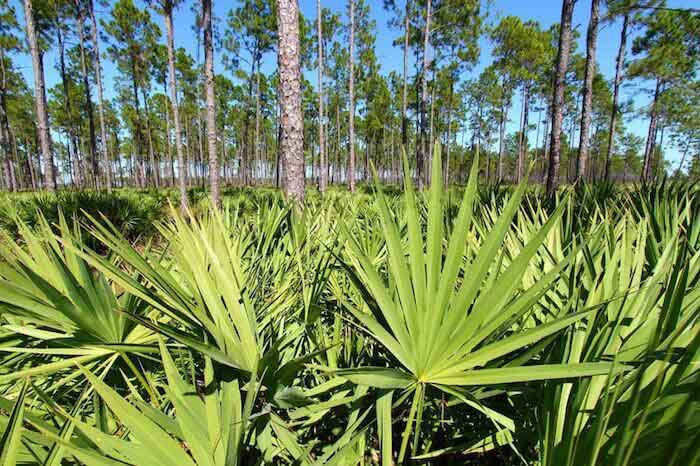 plantacion de sawpalmetto