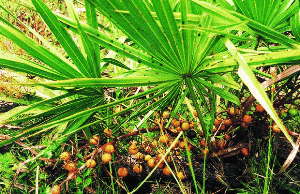 blade of saw palmetto and its fruit