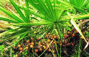 hoja de saw palmetto y su fruto